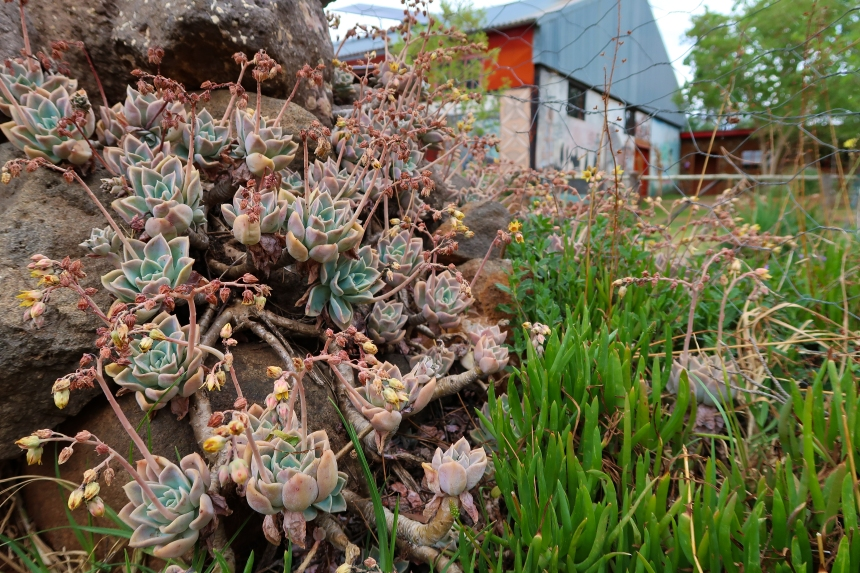 Malealean Succulents, photo by Kelly Benning